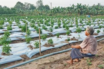 Pepper plantations.