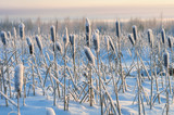Snowy winter evening cattail