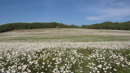 Chamomile meadow in the wind