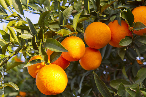 canvas print picture Valencia orange trees