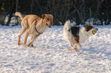 Running dogs on snow