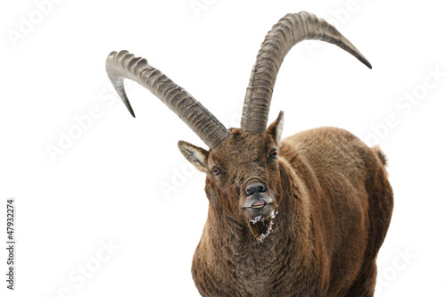 Capra ibex close up