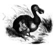 Dronte - Dodo