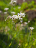 flowering Allium roseum