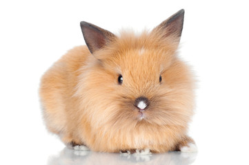 cute pet rabbit isolated