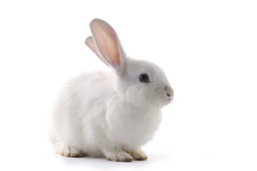 white rabbit on the white background