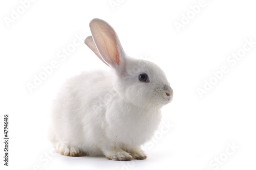 white rabbit on the white background
