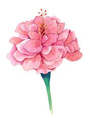 Chinese Rose, Chinese Hibiscus