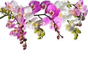 Bouquet of orchids (Phalaenopsis) in pink and white