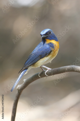 Chinese Blue Flycatcher male