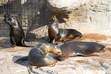 The sea lion in zoo evil roars