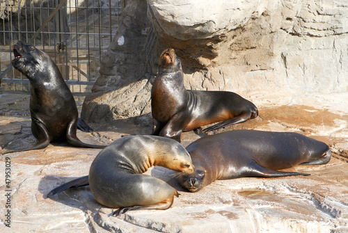 The sea lion in zoo evil roars
