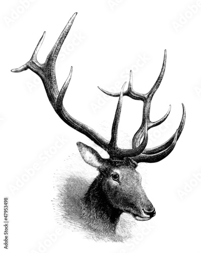 Wapiti Deer : Head