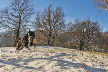 A black dog like a wolf in the snow jumping looking at you
