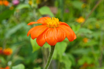 Impressionist orange flower in Monet's Garden, Giverny, France