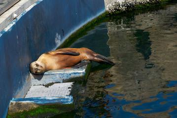The sea lion in zoo sleeping