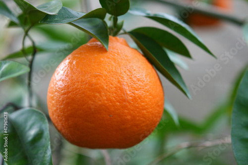 Orange on Tree