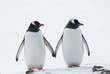 Two penguins Gentoo.