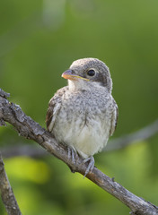 Young Red backed Shrike (Lanius collurio) on a dead branch.