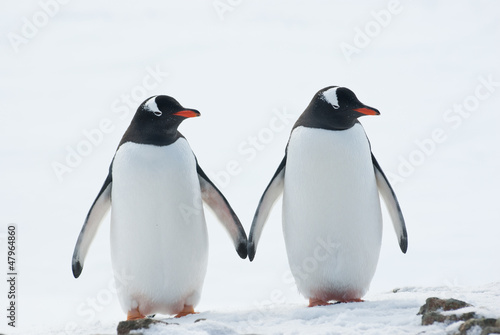 In de dag Antarctica Two penguins Gentoo.