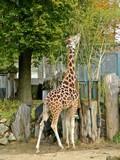 Giraffe at Riga zoological garden poster