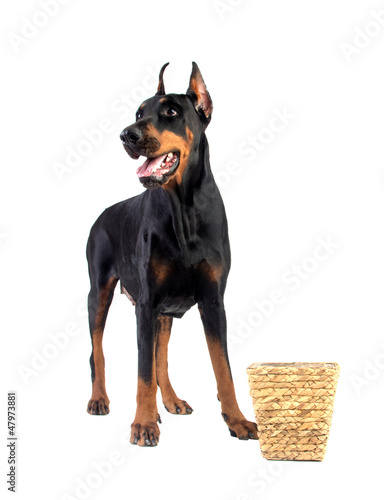 Doberman dog eating food from basket