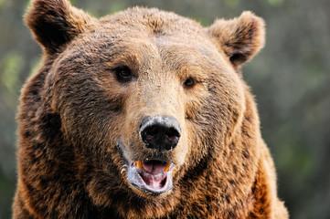 Portrait of an adult brown bear