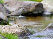 Grey-tailed Tattler Heteroscelus brevipes