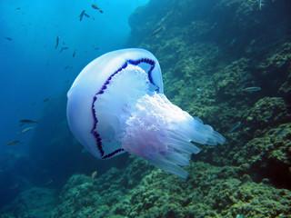 Rhizostoma pulmo jellyfish