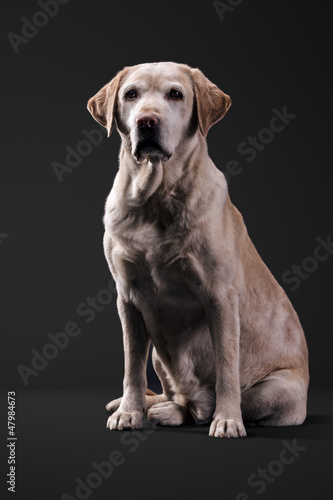 labrador in studio