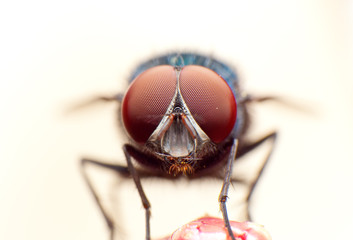 fly macro portrait