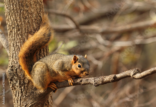 Fotobehang Eekhoorn Eastern Fox Squirrel, Sciurus niger