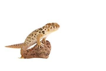 wundergecko gecko lizzard echse reptil tier