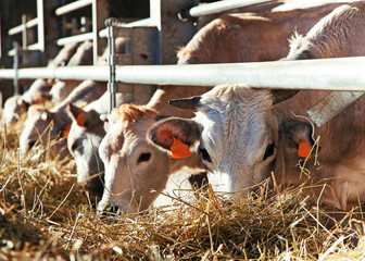 Cows in farm