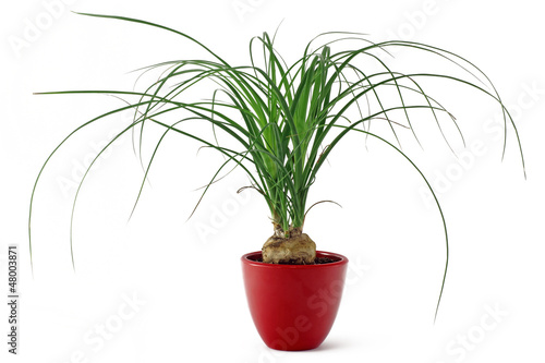 Fotobehang Palm boom Beaucarnea recurvata