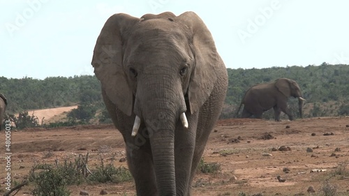 Big elephant walking towards camera close up