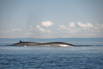 Fin whales, St Lawrence river, Quebec (Canada)