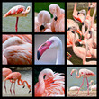 Eight mosaic photos of flamingos (Phoenicopterus)
