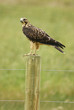 Juvenile Red-tailed Hawk (Buteo jamaicensis) sitting on a pole
