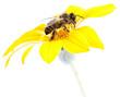 Obrazy na płótnie, fototapety, zdjęcia, fotoobrazy drukowane : abeja en una margarita