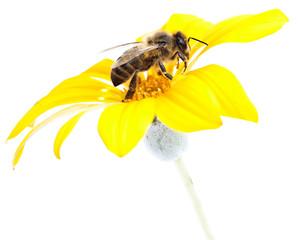 abeja en una margarita