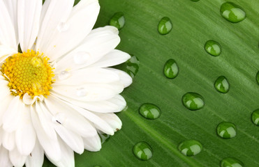 daisy with dew drops on green leaf