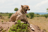 Cheetah yawns on Termite Mound