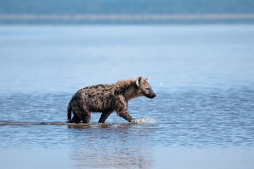 Spotted Hyena searching for prey