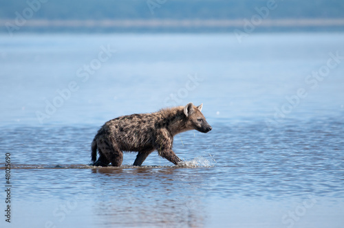 Papiers peints Hyène Spotted Hyena searching for prey