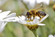 Honey bee feeding on anthemis flower