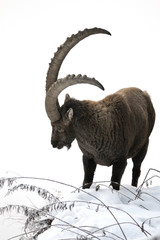 Capra ibex in the snow