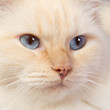 Close-up of a ragdoll