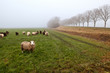 sheep on pasture in fog