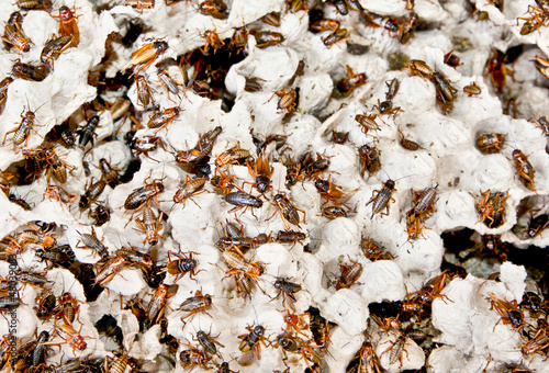 Hundreds of brown cockroaches in their habitat